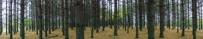 View of pine trees in Cuba Marsh, a local Lake County Forest Preserve