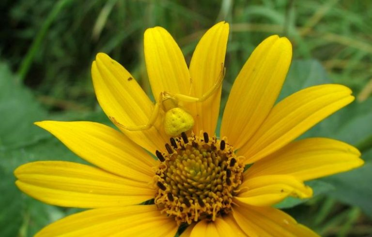 Yellow crab spider on a yellow silphium
